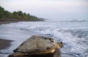 Costa Rica vuelta a la actividad desove de tortugas